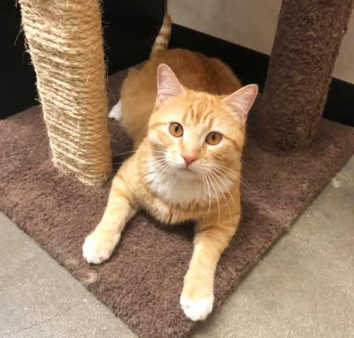 Tullan, an adopted Domestic Short Hair in Mission Viejo, CA