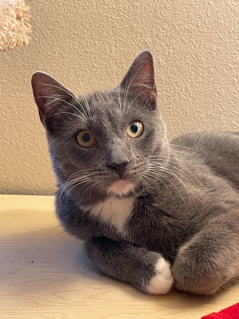 Leon, an adoptable Domestic Short Hair in Mission Viejo, CA