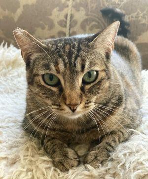 Aimee American Shorthair Cat