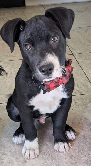Meet Merlin Merlin is turning into a real good little pup He loves to play with his foster sisters