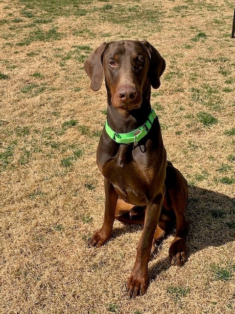 JD, an adopted Doberman Pinscher in Woodstock, MD_image-3