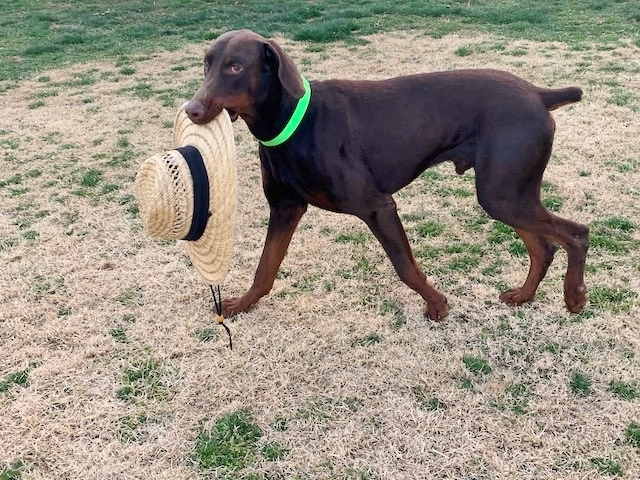 JD, an adopted Doberman Pinscher in Woodstock, MD_image-4