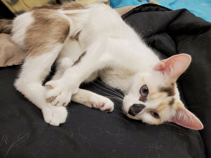 Sprinkles, an adoptable Siamese & Domestic Short Hair Mix in Naperville, IL