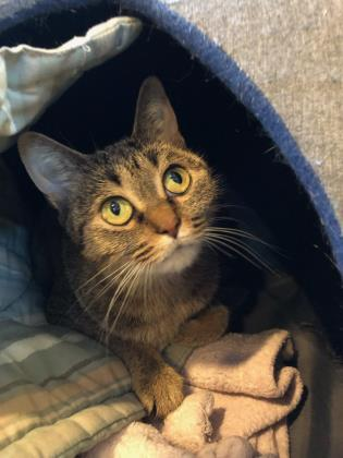 Baby Girl, an adopted Domestic Short Hair Mix in Bellingham, WA