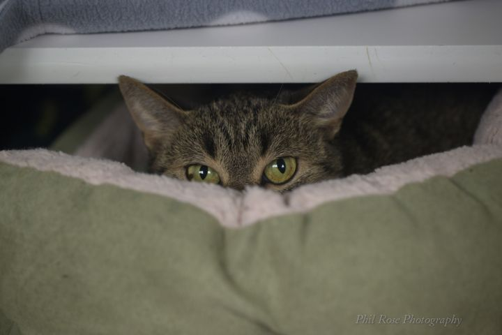 Baby Girl, an adopted Domestic Short Hair Mix in Bellingham, WA_image-2