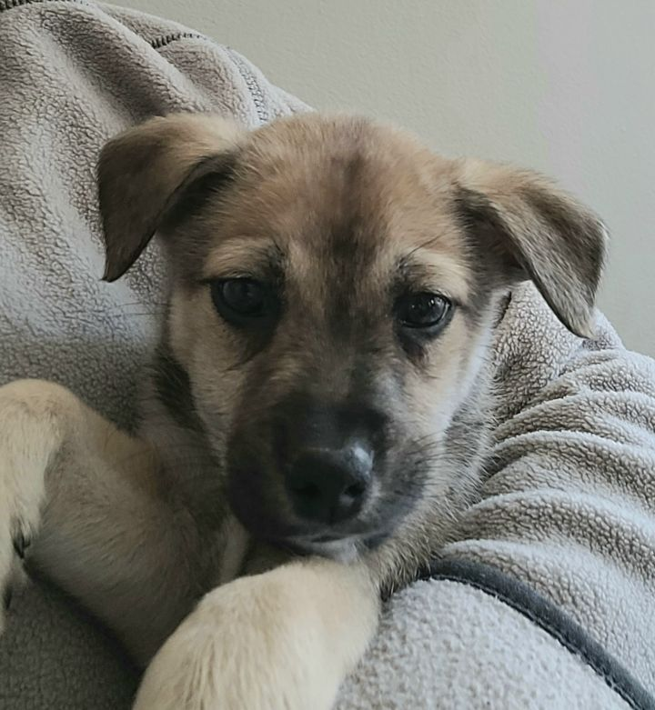 Mochi, an adopted Hound & Terrier Mix in Naperville, IL_image-2