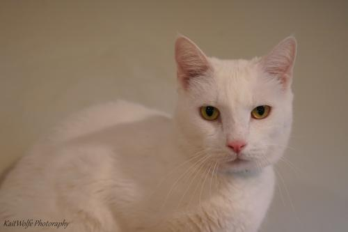 Hallux, an adoptable Domestic Short Hair in Tucson, AZ