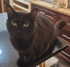 Jane, an adoptable Domestic Short Hair Mix in Lenoir, NC_image-1