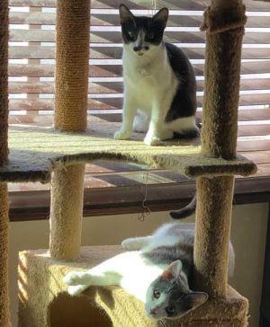 Koba and Nova Domestic Short Hair Cat
