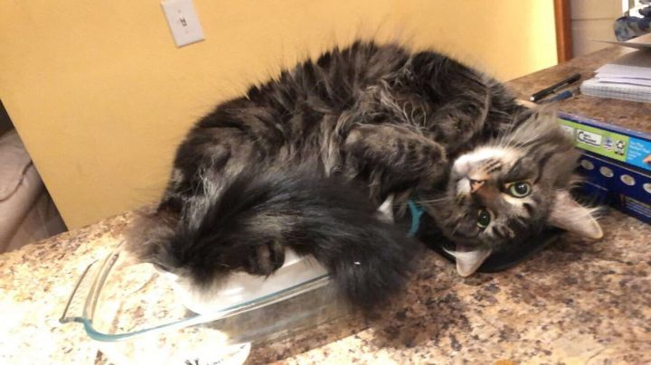 Toby, an adoptable Domestic Long Hair in Pasco, WA