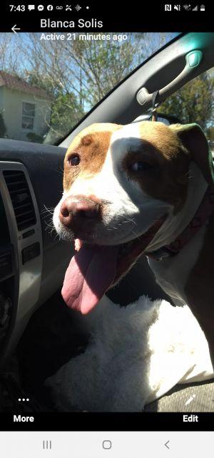 Venus Pit Bull Terrier Dog
