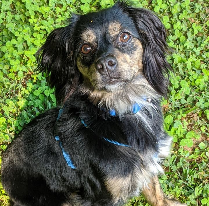 Grace, an adoptable Spaniel Mix in Greensboro, NC