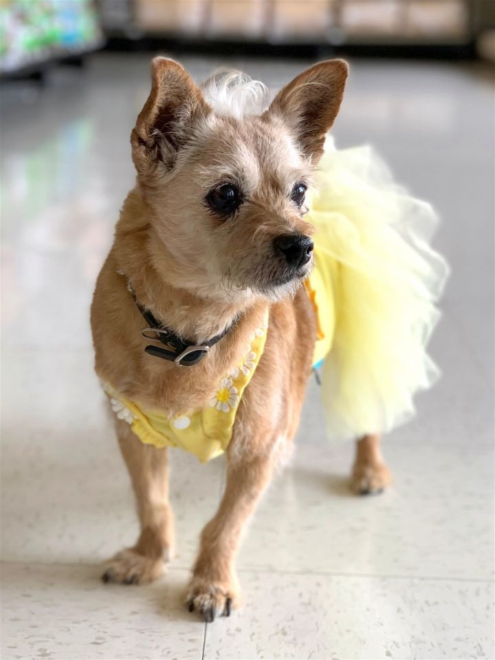Ruby, an adoptable Terrier Mix in Rancho Santa Margarita, CA