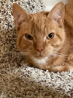 Rollie, an adopted Domestic Short Hair in Cincinnati, OH