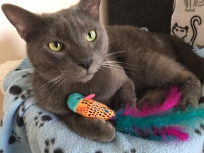 Splinter, an adopted Domestic Short Hair in Kentwood, MI