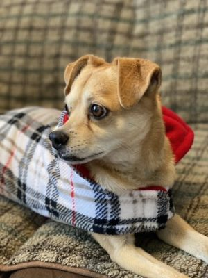Bailey Chihuahua Dog