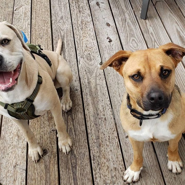 Tramp, an adopted Labrador Retriever & Shepherd Mix in White Plains, NY_image-2