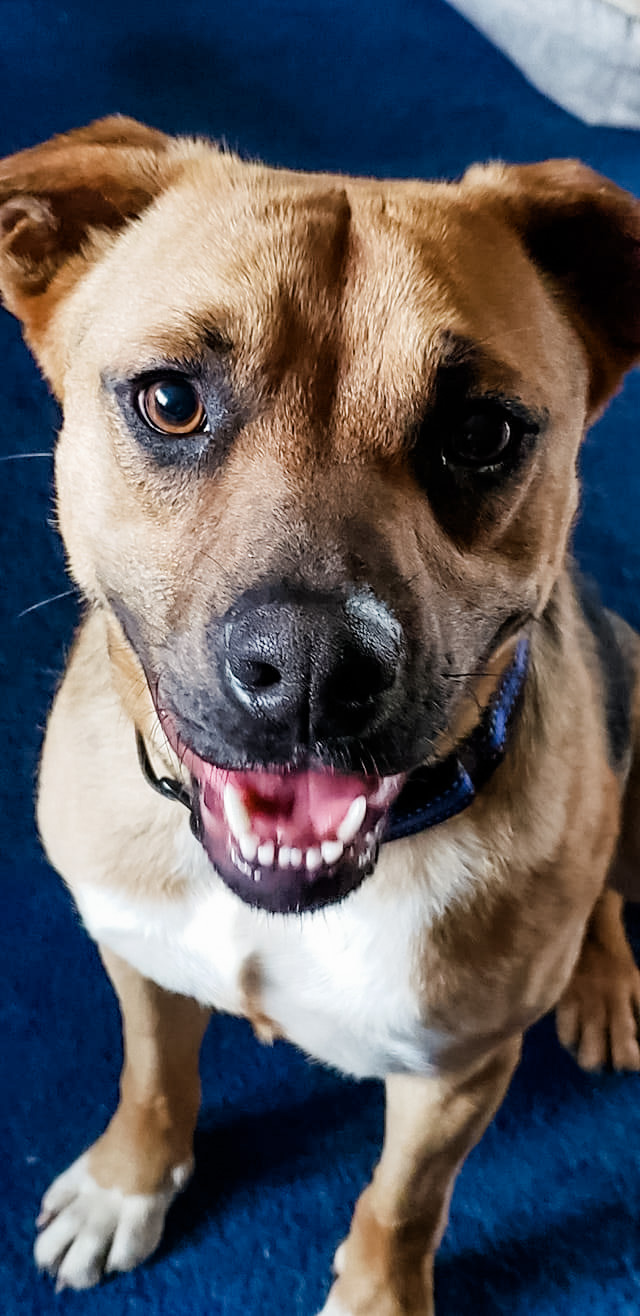 Tramp, an adopted Labrador Retriever & Shepherd Mix in White Plains, NY_image-3