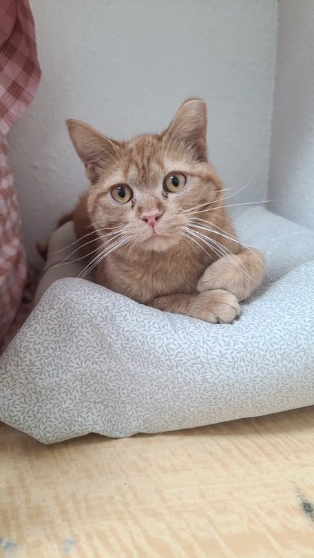 Tobias, an adoptable Tabby & Domestic Short Hair Mix in Monroe, MI