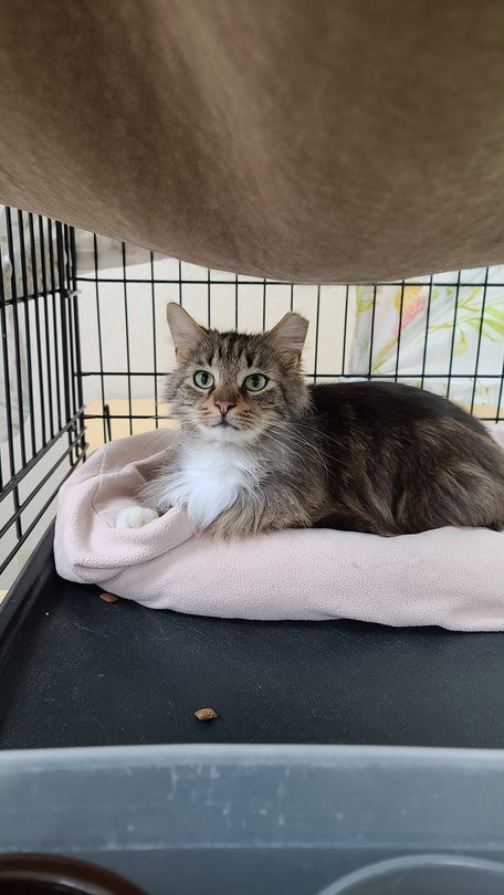 Nigel, an adopted Tabby & Domestic Long Hair Mix in Monroe, MI