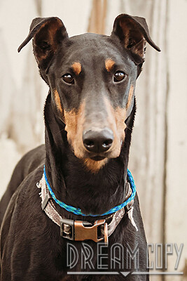 Letty, an adoptable Doberman Pinscher in Owensboro, KY