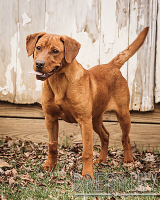 Willie - DRD program, an adoptable Dachshund Mix in Owensboro, KY_image-1