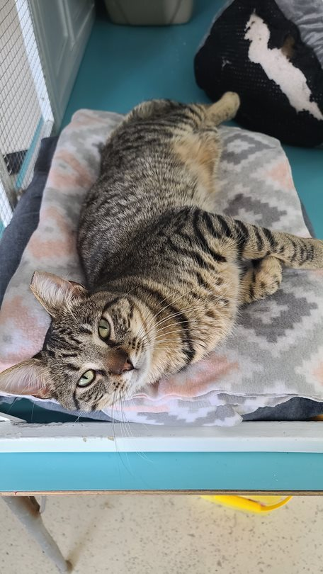 Stelth, an adoptable Tabby & Domestic Short Hair Mix in Monroe, MI