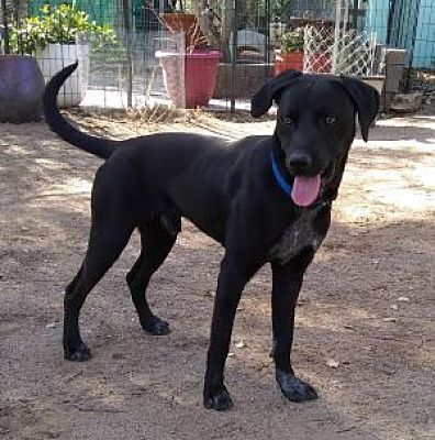 Sam, an adopted Labrador Retriever Mix in Spring Valley, CA_image-2