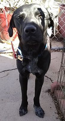 Sam, an adopted Labrador Retriever Mix in Spring Valley, CA_image-3