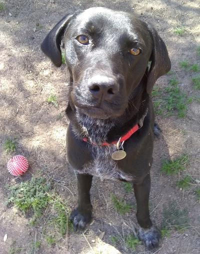 Sam, an adopted Labrador Retriever Mix in Spring Valley, CA_image-1