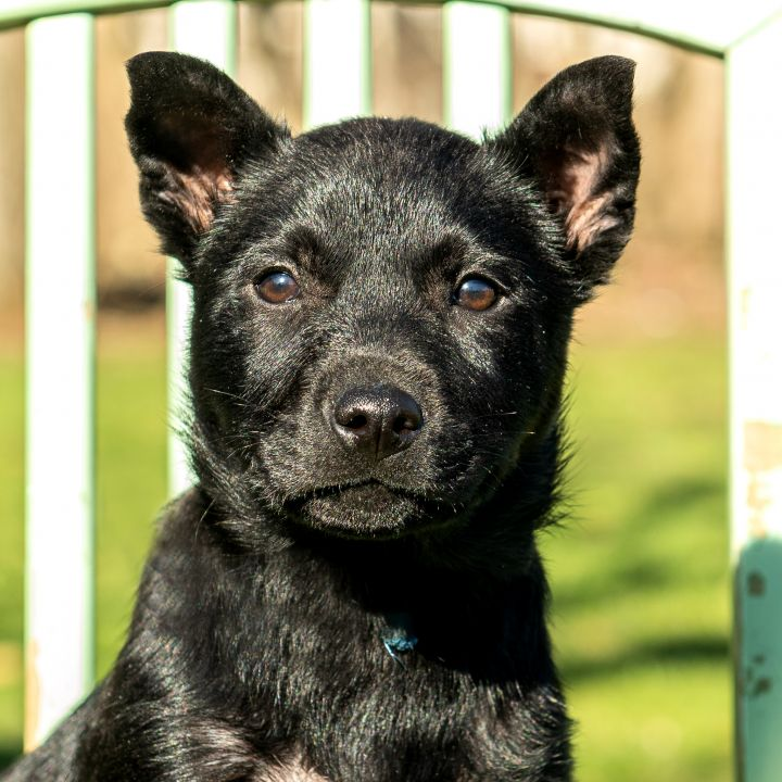 Sloth Bear, an adoptable Border Collie & Retriever Mix in Cincinnati, OH