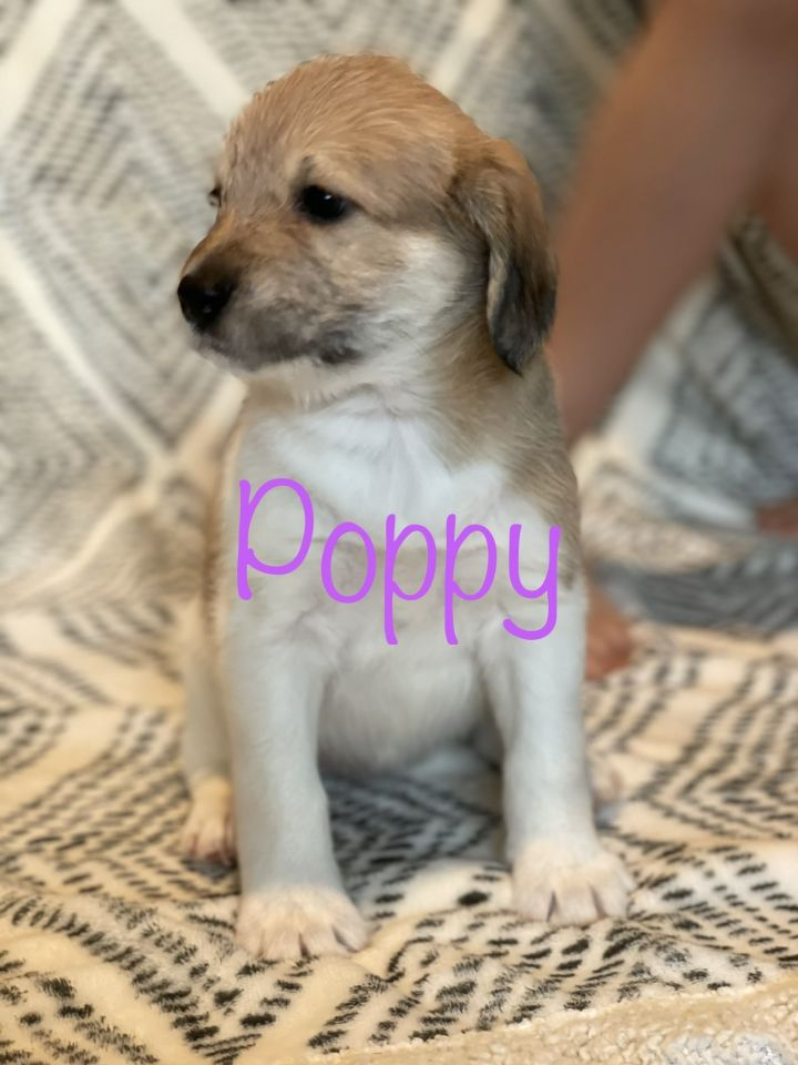 Poppy, an adopted Schnauzer & Terrier Mix in San Diego, CA_image-1