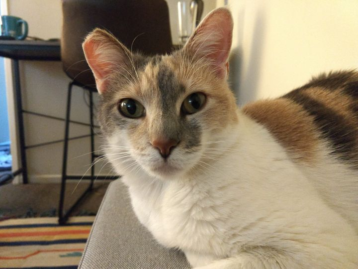 Baci, an adopted Domestic Short Hair & Dilute Calico Mix in Los Angeles, CA