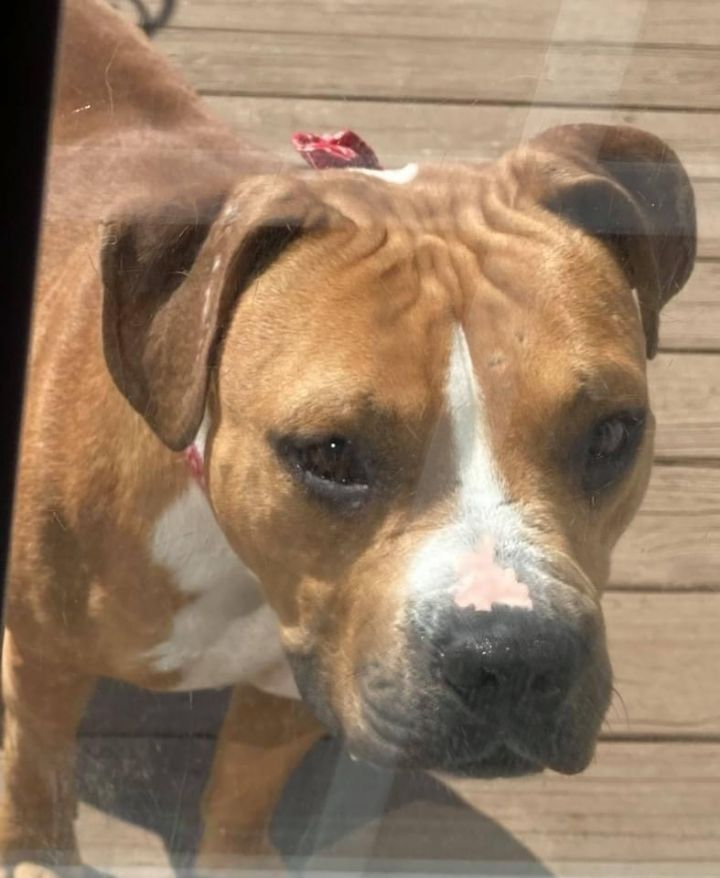Princess Diana, an adoptable Boxer & Pit Bull Terrier Mix in Whitsett, NC