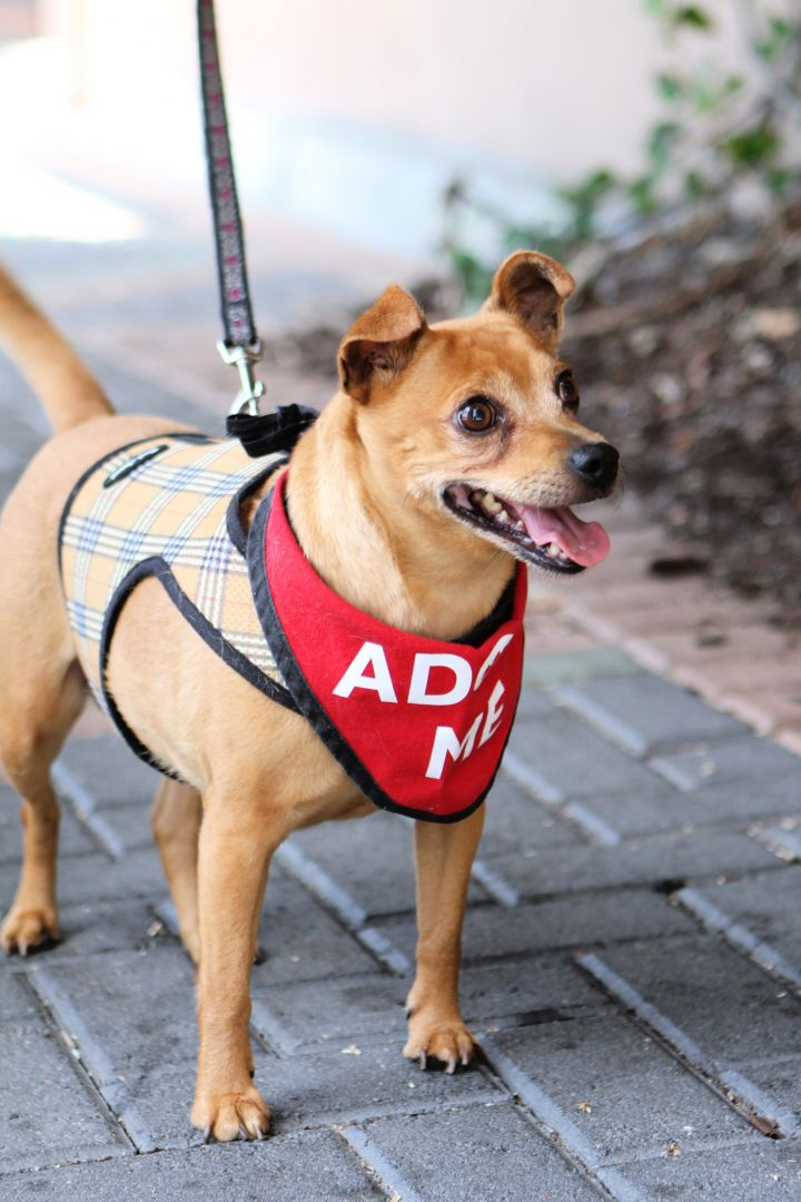 Darla, an adoptable Miniature Pinscher in Mission Viejo, CA