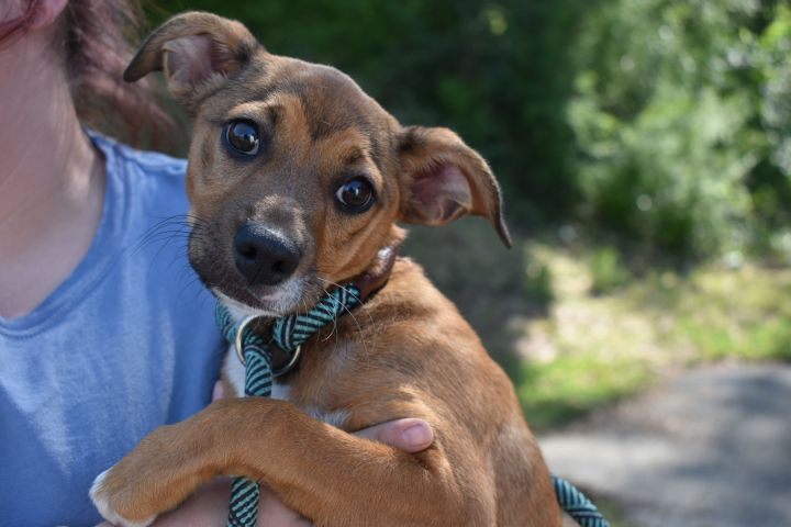 Pippi, an adoptable Chihuahua & Feist Mix in Milledgeville, GA