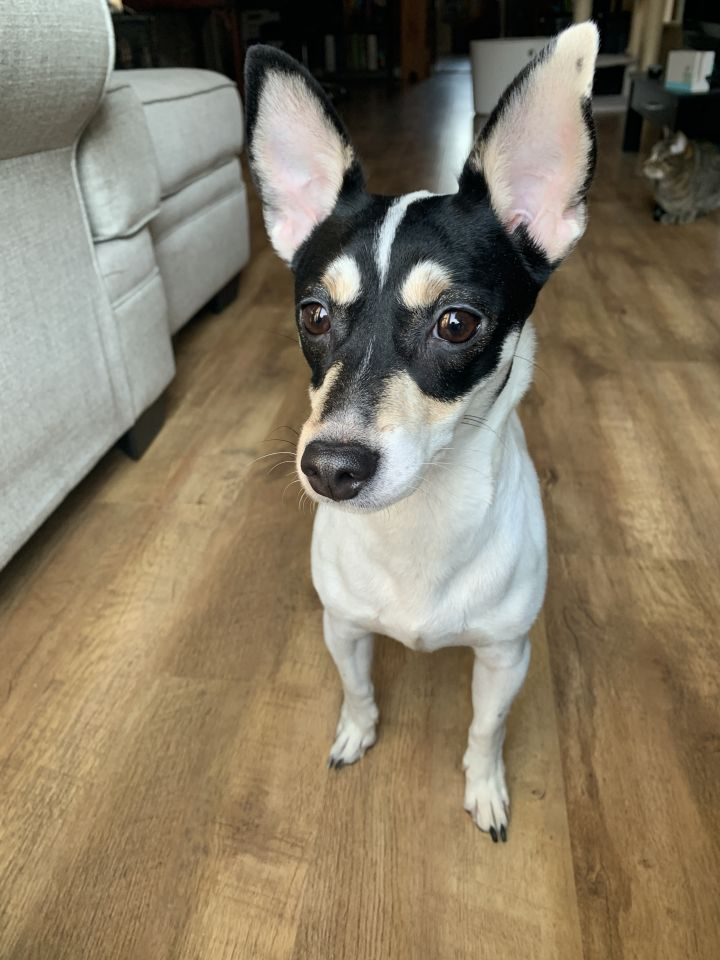 Daisy, an adopted Rat Terrier & Chihuahua Mix in Cincinnati, OH