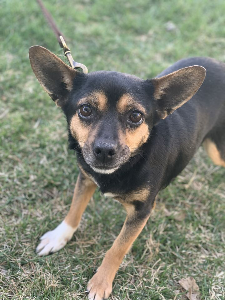 Bitsy, an adopted Rat Terrier & Chihuahua Mix in Cincinnati, OH