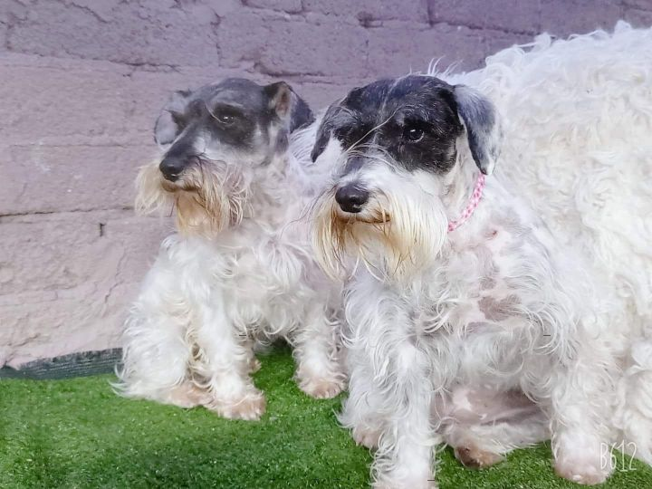 Peter, an adopted Schnauzer Mix in San Diego, CA