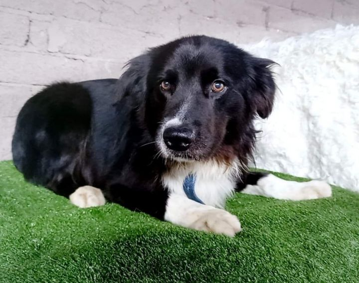 Robert, an adopted Border Collie Mix in San Diego, CA