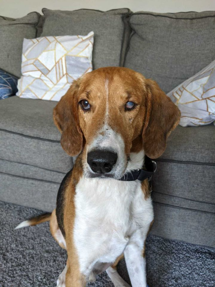 Beau, an adoptable Foxhound & Hound Mix in Elgin, IL_image-1