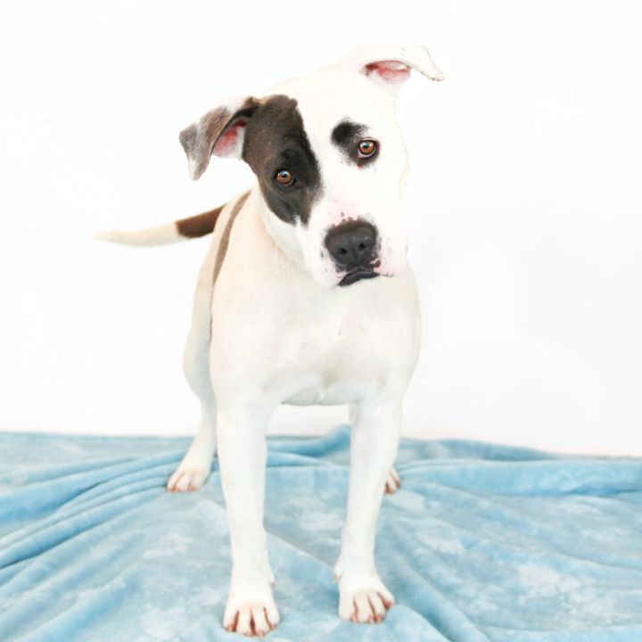 Sadie, an adopted Pit Bull Terrier Mix in Clovis, CA
