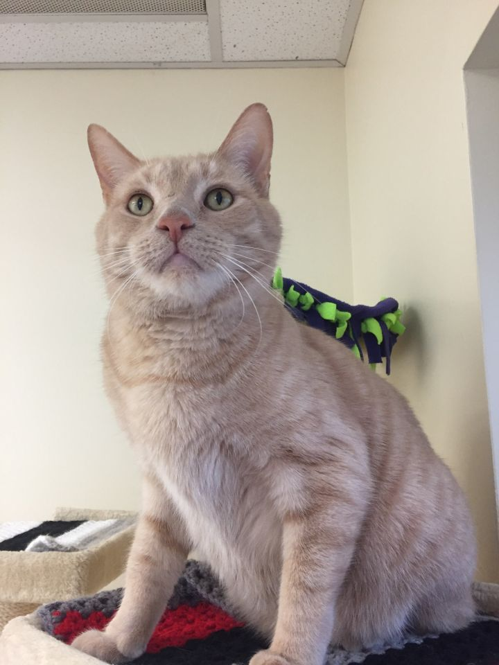 Garfield, an adoptable Domestic Short Hair in Naperville, IL_image-1