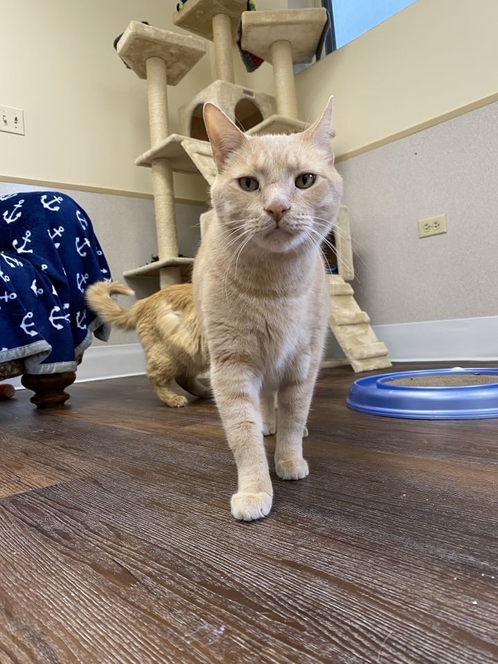 Garfield, an adoptable Domestic Short Hair in Naperville, IL_image-2