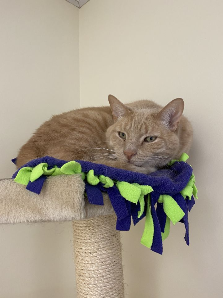Garfield, an adoptable Domestic Short Hair in Naperville, IL_image-4