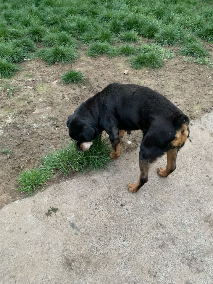 Cranberry, an adoptable Rottweiler in Portland, OR_image-3