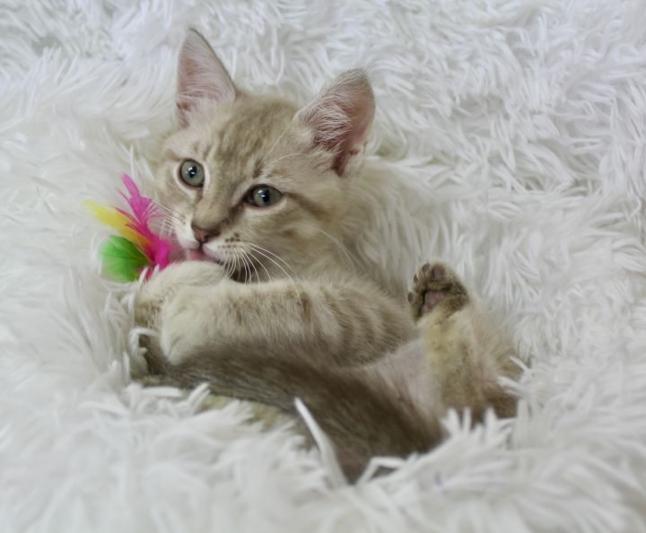 Lovely Luciano, an adopted Tabby in Saint Augustine, FL_image-5