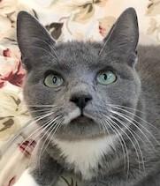 BUFFY - Gorgeous, Loving, Sweet, Fluffy, 1-Year-Old, Nebelung Tuxedo Girl!