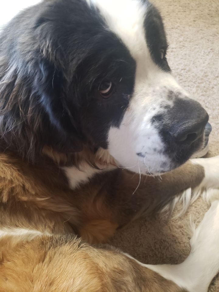 George, an adoptable Saint Bernard in Minneapolis, MN