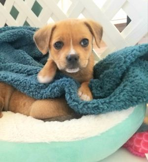 Dog For Adoption Penelope A Chihuahua Beagle Mix In Lombard Il Petfinder